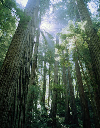 life force (photo from http://www.flowersociety.org/images/Essences/Research/Redwood/redwood-trees.jpg)